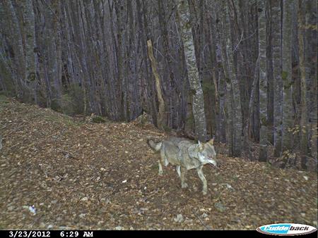 loup,jura,prédateurs,retour du loup,massif jurassien