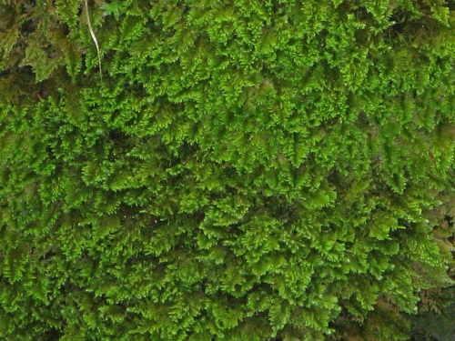 Ctenidium molluscum_0124.jpg