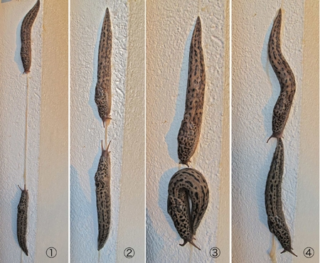 limax maximus,limace léopard,andré guyard