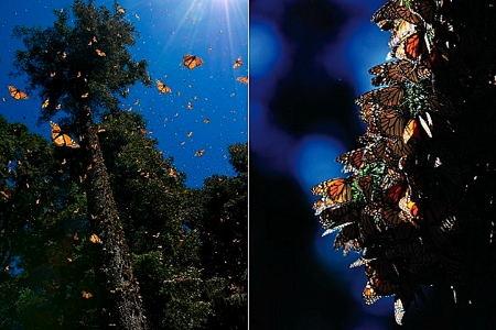 6-papillon-monarque-1.jpg