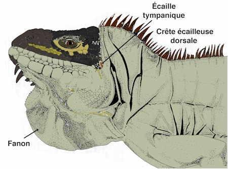 iguane-tête-1.jpg