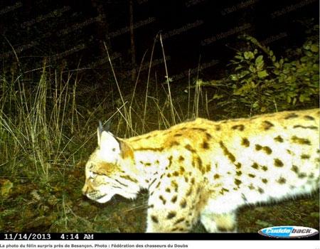 Lynx-à-Chailluz.jpg
