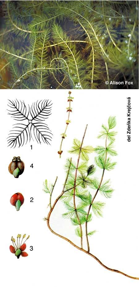 Myriophylle-en-épi-450.jpg