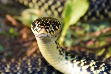 couleuvre verte et jaune,hierophis viridiflavus,serpents non venimeux,ophidiens