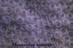 047Montastrea annularis-1.jpg