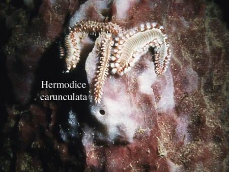 118Hermodice2-1.jpg