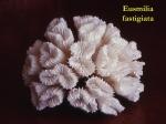 28Eusmilia-fastigiata1-1.jpg