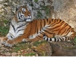 tigre,sumatra,tigre de sumatra,wwf