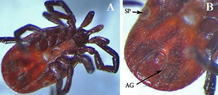 3_Ixodes_face_ventrale-1.jpg