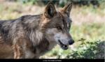 Le loup de l'Yonne-450.jpg