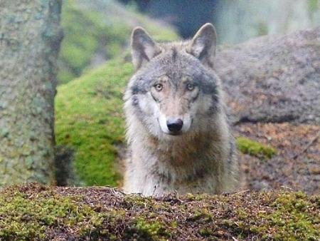 nicolas hulot,plan loup 2018-2023,loup en france