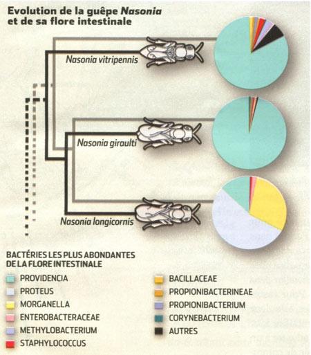 Évolution-de-la-guêpe-Nasonia-et-de-sa-flore-intestinale-450.jpg