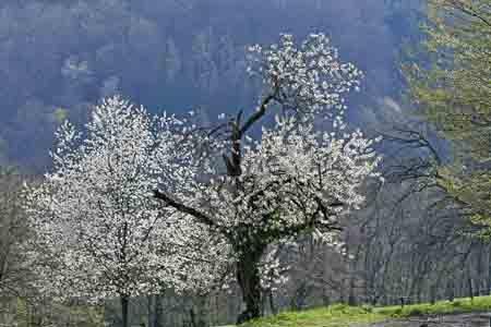 dominique delfino,photographe naturaliste et animalier,pays de montbéliard,floraison des cerisiers