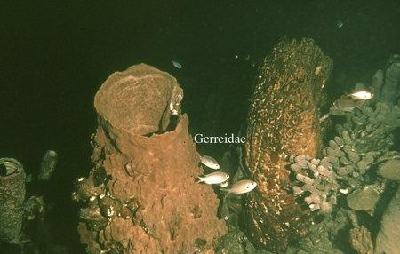 110Gerreidae-1.jpg