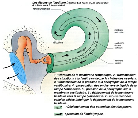 Figure11-Étapes-de-l'audition-450.jpg