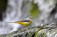 bergeronnette des ruisseaux,dominique delfino,photographe naturaliste et animalier,pays de montbéliard