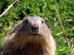 mammifères,marmotte,hibernation
