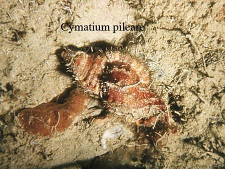124Cymatium pileare2-1.jpg