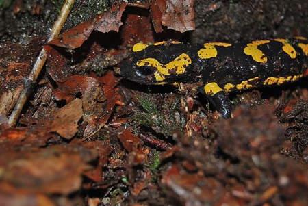 Salamandre_Michel-Cottet-1.jpg