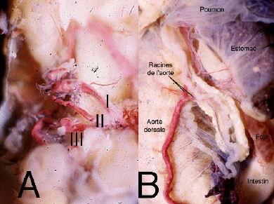 Salamandre_dissection_arcs_branchiaux3-1.jpg