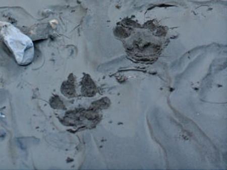 loup,traces,empreintes