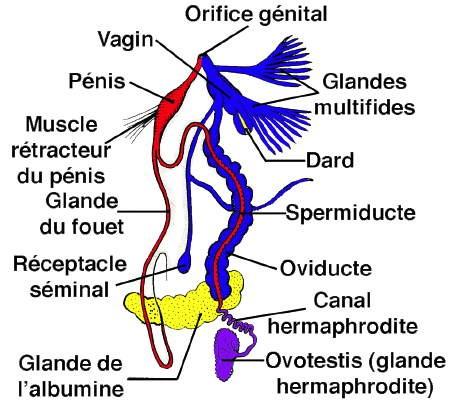 escargot-Appareil-génital.jpg
