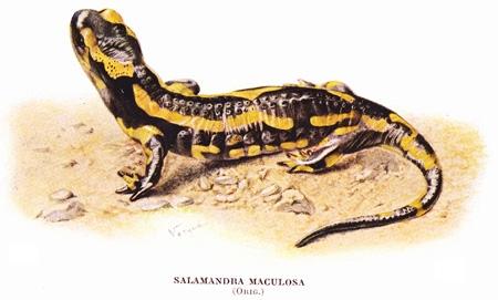 Salamandra-maculosa-blog.jpg
