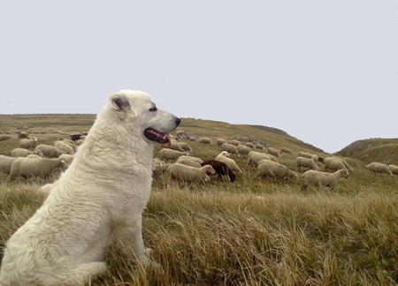 loup,attaques,prédateurs,patou,montagne des pyrénées,chien des pyrénées