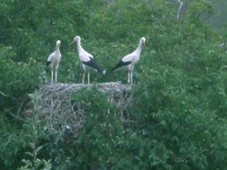 cigogne blanche,besançon,franche-comté,migrations oiseaux