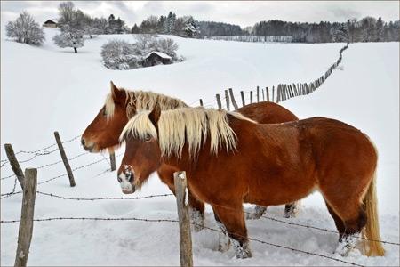 Delfino-hiver-comtois-450.jpg