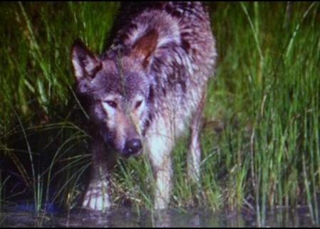 loup,vosges,lorraine,haute-saône,jura,prédateurs,retour du loup,massif jurassien
