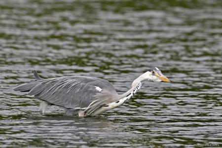 dominique delfino,photographe naturaliste et animalier,franche-comté,héron cendré