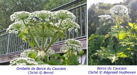 Berce-du-Caucase-(Heracleum-mantegazzianum)-450.jpg