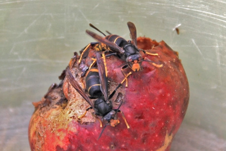 espèces invasives,frelon asiatique,abeilles,piègeage,dioxyde de soufre