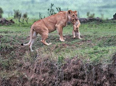 empathie animale,comportement altruiste,lions,mammifères