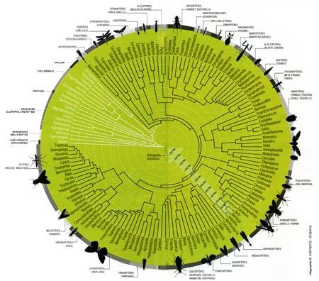 insectes,phylogénie,phylogenèse,arbre phylogénétique