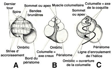 escargot-morphologie-coquille-1.jpg
