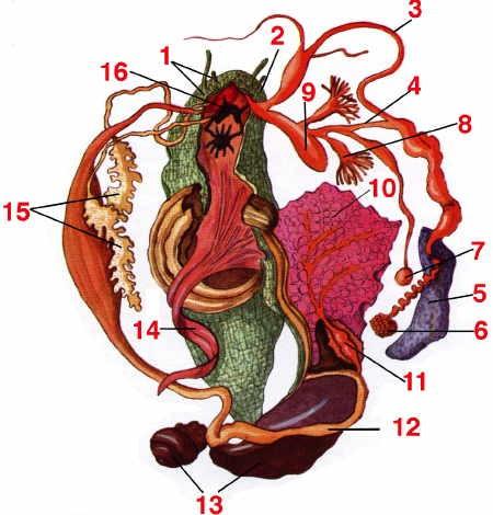 escargot_Anatomie-07-1.jpg
