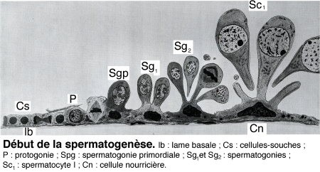 Fig_I_spermatogenèse1.jpg