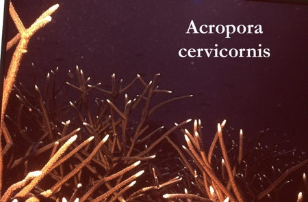35Acropora cervicornis1-1.jpg