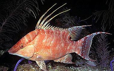 Lachnolainus maximus-1 .jpg