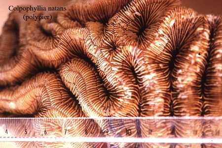 061Colpophyllia natans2-1.jpg