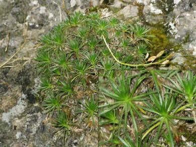 Drave faux-aïzoon (Draba aizoides)_01061.jpg