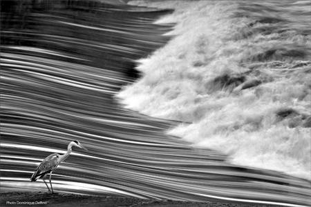 dominique delfino,photographe naturaliste et animalier,doubs,héron cendré,laissey,vallée du doubs,