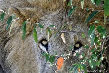 Regard de lion-450.jpg