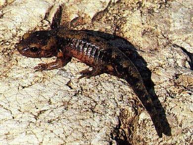 Salamandre_larve3-1.jpg
