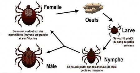 Cycle de l'Ixode-1.jpg