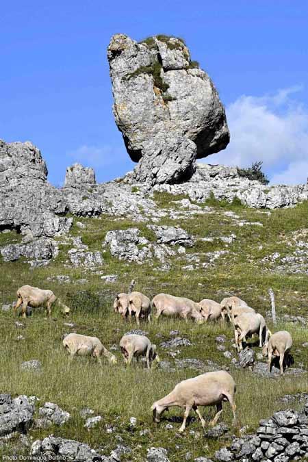 Moutons-du-causse-Méjean-450.jpg