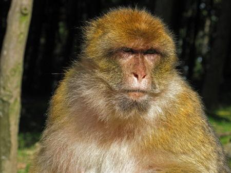 Macaque de Barbarie_14-1.jpg