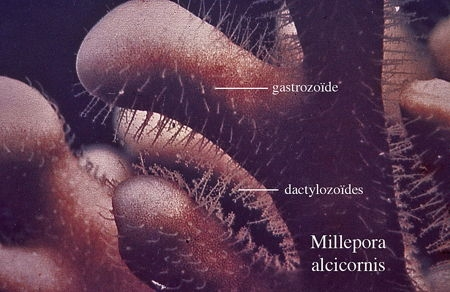 02Millepora_alcicornis2-1.jpg